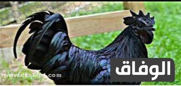 انواع الدجاج في الجزائر