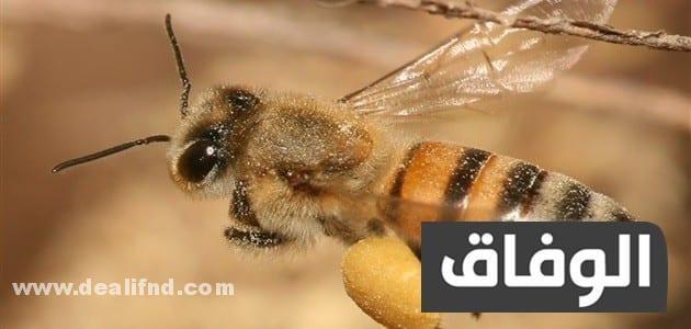 انواع النحل في الجزائر