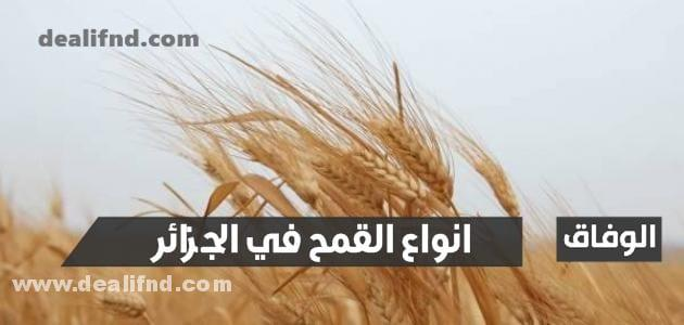 انواع القمح في الجزائر